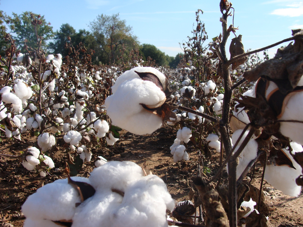 photo of cotton