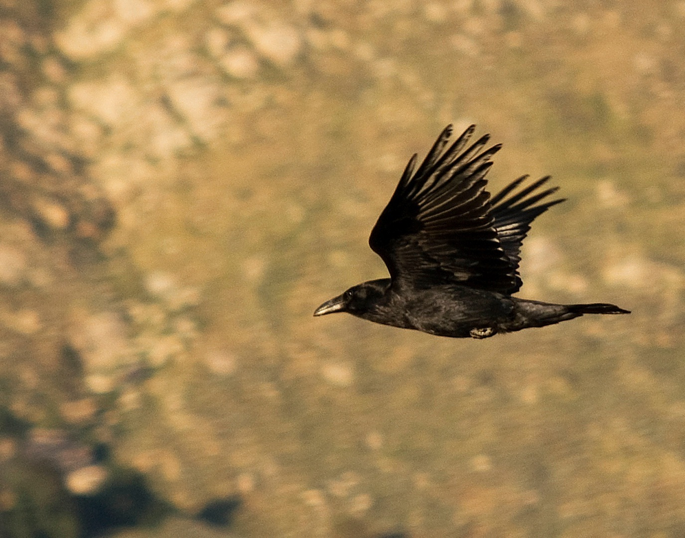 photo of a flying crow