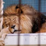- lionsleeping flickr pauldc 1 150x150