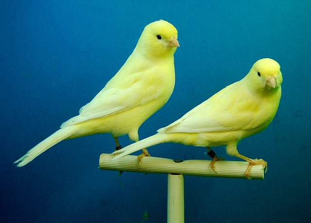two canaries photo