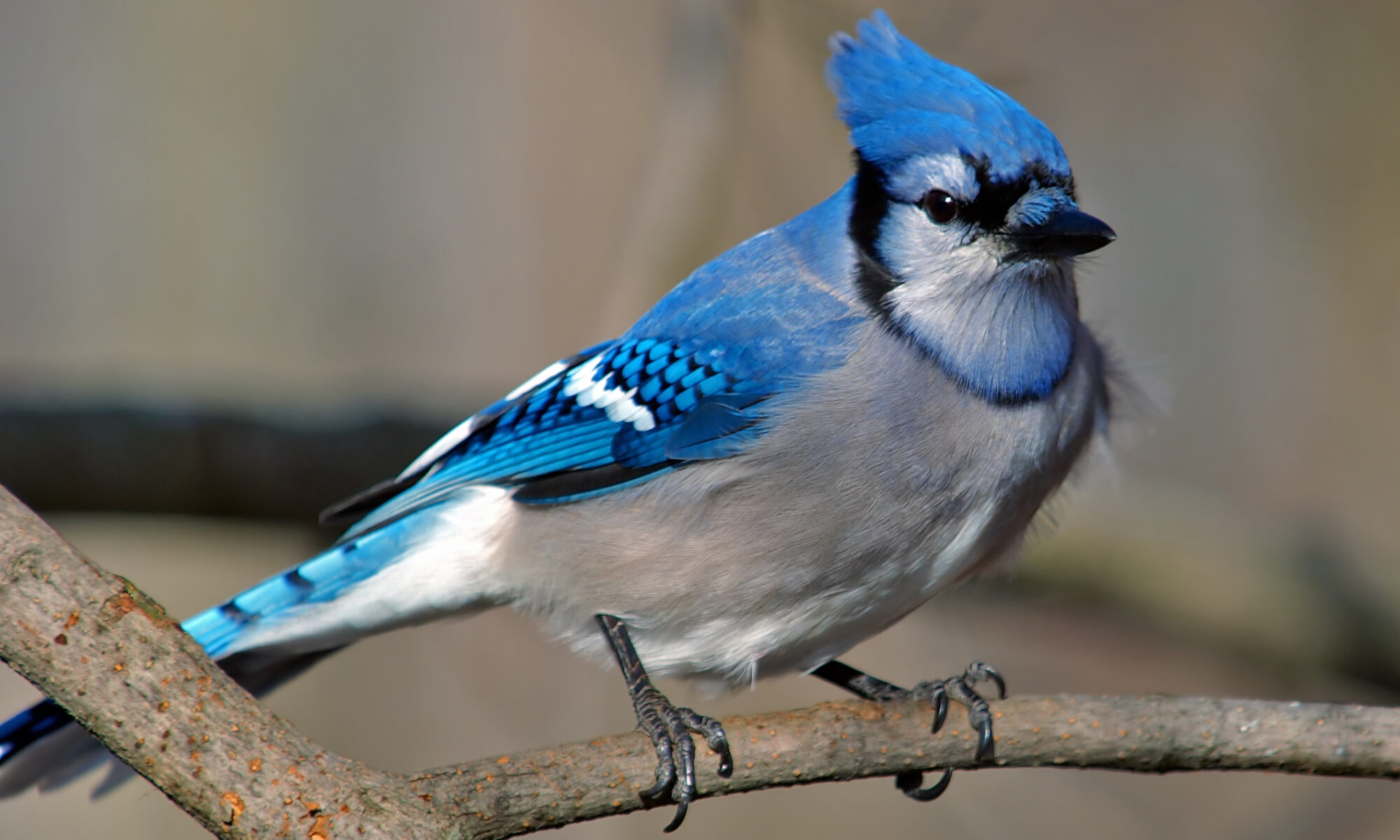 photo of bluejay