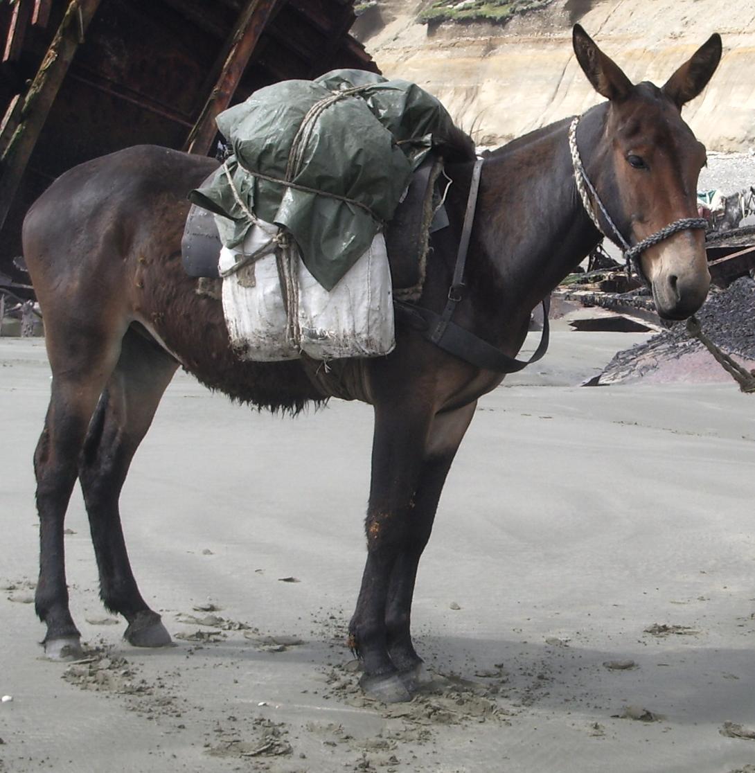 photo of mule
