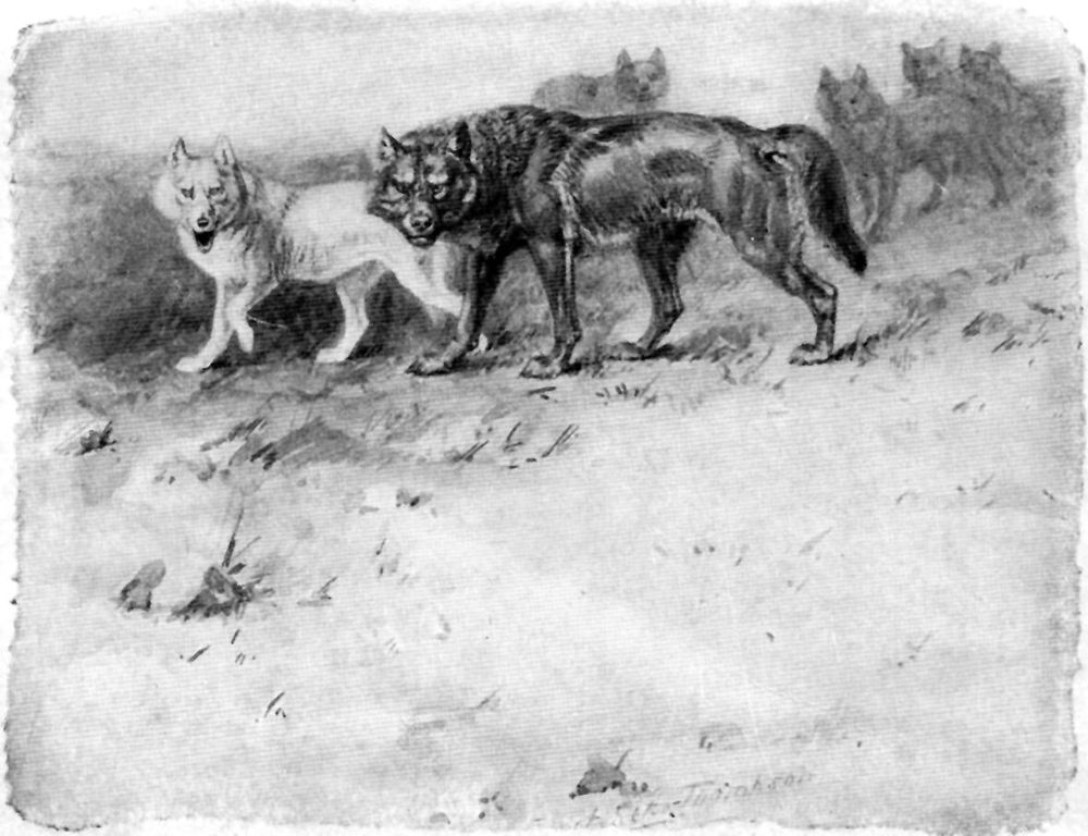 lobo drawing
